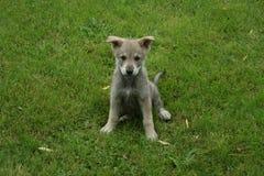 wolfdog saarloos щенка стоковая фотография rf