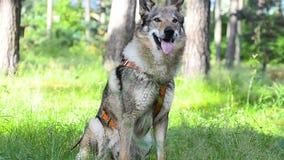 Wolfdog sammanträde på kommando lager videofilmer
