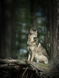 Wolfdog sitting behind pinetree roots. The wolfdog sitting behind pinetree roots Royalty Free Stock Photos