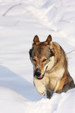 Wolfdog on the snow. Running wofldog in the snow in winter Stock Photo