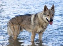 Wolfdog tchécoslovaque. photographie stock libre de droits