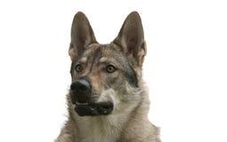 Wolfdog tchécoslovaque Photographie stock libre de droits