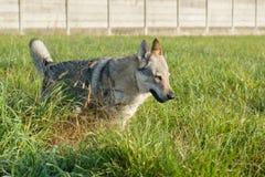 Wolfdog tchécoslovaque image libre de droits