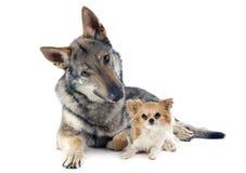 Wolfdog tchécoslovaque et chiwawa Photographie stock