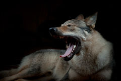 Wolfdog Royalty Free Stock Image