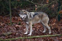 wolfe Stockbilder