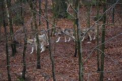 wolfe Lizenzfreies Stockfoto