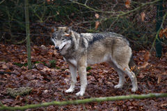Wolfe. JANUARY 2013 - THALE: a grey wolfe in the Tierpark Thale, Harz, Germany Stock Images