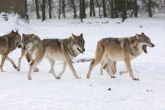 Wolfes di lupus di Canis Immagini Stock Libere da Diritti