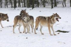 Wolfes di lupus di Canis Fotografia Stock Libera da Diritti