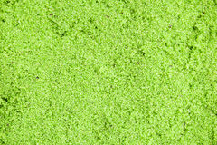 Wolffia globosa or Fresh water Alga, Water Meal, Swamp Algae,green Stock Images