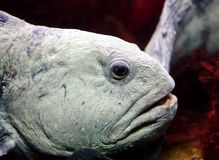 Wolffish Royalty Free Stock Image