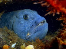 Wolffish royalty free stock images