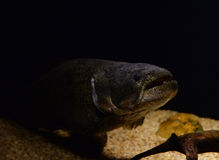 Wolffish Stock Photography