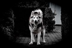 Wolffriend Fotografia Royalty Free