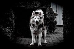 Wolffriend. Posing Alaskan Malamute Royalty Free Stock Photography