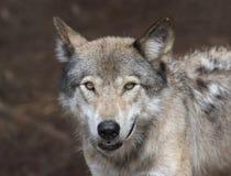 Wolfgesicht Lizenzfreie Stockfotografie