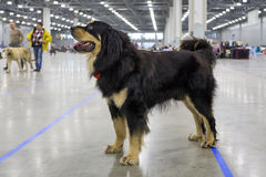 Wolfhound Buryat-Монгол также известный как Hotosho Стоковые Изображения RF