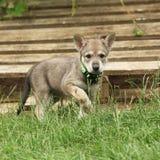 Wolfhound de Saarloos imagens de stock