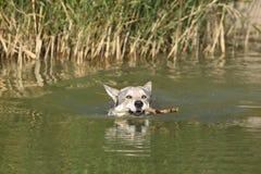 Wolfhound de Saarloos da natação Foto de Stock