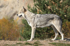 Wolfhound de Saarloos Imagem de Stock