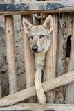 Dog breed Wolfhound. Wolfhound dog behind a wooden fence in captivity stock photos