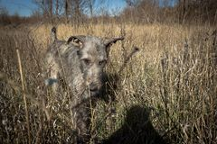 Wolfhound irlandês Foto de Stock Royalty Free