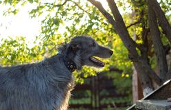 Wolfhound irlandês Imagens de Stock