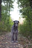 Wolfhound irlandês Imagem de Stock