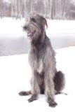 Wolfhound irlandês Fotografia de Stock
