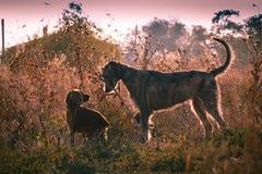 Wolfhound irlandês Fotografia de Stock Royalty Free