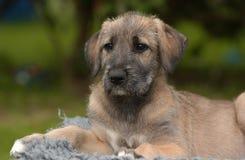 Wolfhound irlandês Foto de Stock