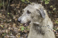 Wolfhound irlandês Fotos de Stock Royalty Free