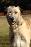 wolfhound irlandais de verticale Images stock