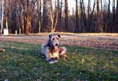 Wolfhound irlandese Immagine Stock