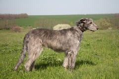 Wolfhound irlandese Immagini Stock Libere da Diritti