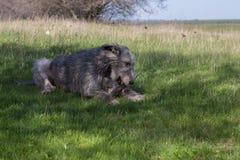 Wolfhound irlandese Fotografie Stock