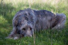 Wolfhound irlandese Fotografia Stock