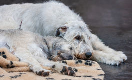 Wolfhound irlandese Fotografie Stock Libere da Diritti