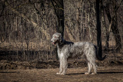Wolfhound irlandese Immagini Stock