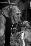 Wolfhound irlandese Immagine Stock Libera da Diritti
