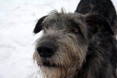 Wolfhound irlandese attento Immagini Stock