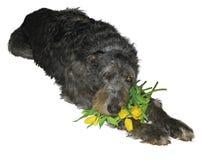 Wolfhound irlandese con un mazzo dei tulipani Fotografia Stock Libera da Diritti
