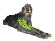 Wolfhound irlandese con un mazzo dei tulipani Immagine Stock Libera da Diritti