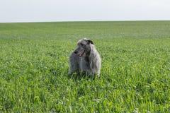 Wolfhound irlandese in mare Mare di Azov La Russia Immagini Stock