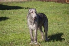 Wolfhound irlandese in mare Mare di Azov La Russia Fotografie Stock Libere da Diritti