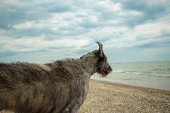 Wolfhound irlandese in mare Mare di Azov La Russia Immagine Stock Libera da Diritti