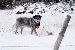 Wolfhound Labrador Mix Dog Over Animal Under Snow Stock Image