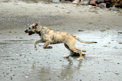 Wolfhound Run Royalty Free Stock Images