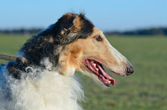 Wolfhound russi Fotografie Stock